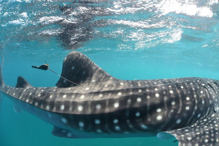 requin_baleine sperm whale